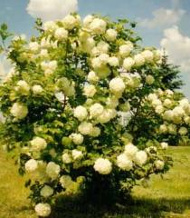 Viburnum seedlings