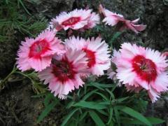 Seeds, carnation