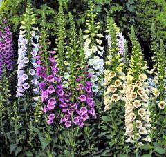 Многолетние цветы оптом