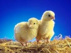 Daily chickens of KOBB 500