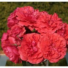 Саженцы роз Uetersens Rosenkonigin