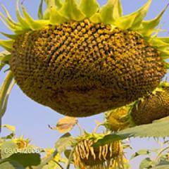Семена подсолнечника Фермер масляный Стандарт