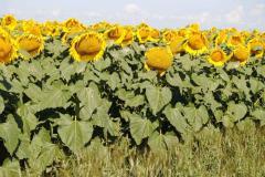 Семена подсолнечника Мир масляный