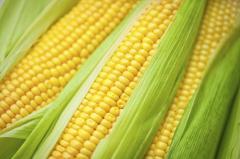 Семена кукурузы ДН Корунд