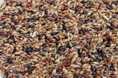 Семена суданской травы Мироновская 10