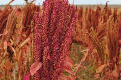 Семена амаранта Атлант