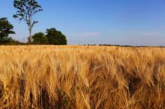Пшеница сорт Лісова Пісня