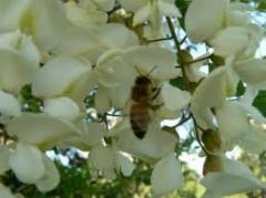 Мед акациевый