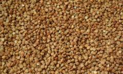 Семена гречихи Антария