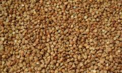 Семена гречихи Антария (Элита)