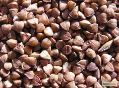 Семена гречихи Арно
