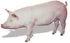 Pigs sale Ukraine