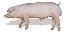 Export of breeding pigs from Denmark