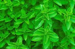 Mint field, essential oil 012-484