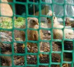 Grid for hen houses (1*50)