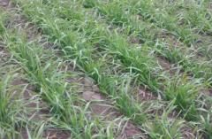Bacterial fertilizer of Biot Ros