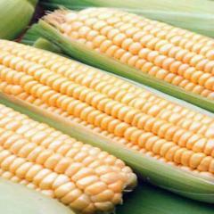 Семена кукурузы Тести Дрим F1суперсладкой...