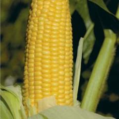 Семена кукурузы Уокер F1суперсладкой Lark...