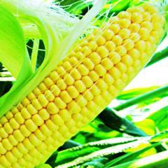 Семена кукурузы LS-889 F1суперсладкой Lucky Seed 100000семян