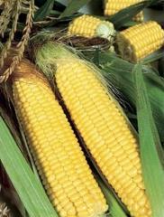 Семена кукурузы Свит Парадайз F1 Lark Seeds...
