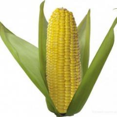 Семена кукурузы Либертон F1 Agri Saaten...
