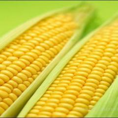 Кукуруза суперсладкая Тести Голд F1 Agri Saaten 5000семян