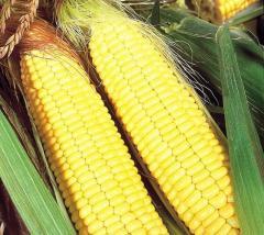 Семена кукурузы Бостон F1сладкой Syngenta 1000г