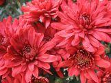 Черенки хризантемы купить Гранде Ред, Киев