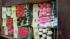 Тюльпан (луковицы) -- Bloembollen droog Tulipa