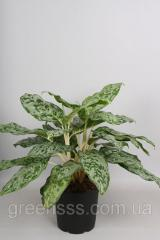 Аглаонема Peacock -- Aglaonema Peacock  P24/H70