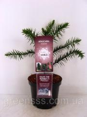 Араукария чилийская -- Araucaria araucana  P19/H45