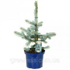 Ель голубая (колючая) Хупси -- Picea pungens