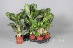 Аглаонема микс -- Aglaonema mixed  P17/H65