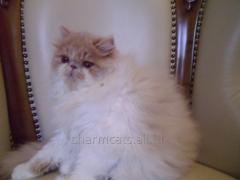 Cat (kitten) of the Persian breed of extreme type