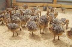Молодняк страусов