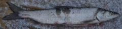 Nelma 4-8kg fresh-frozen