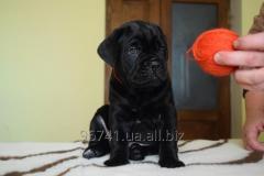 Elite puppies to Cana korso (KSU-FCI)