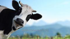 Granule for milk cows - Energetichesko the Protein