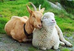 Добавка БВМД и Премикс для овец и коз (10%).