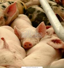 Свиньи племенные в Украине