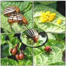 Антиколорад инсектицид