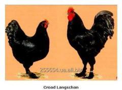 Куры Кроуд Лангшан, Croad Langshan
