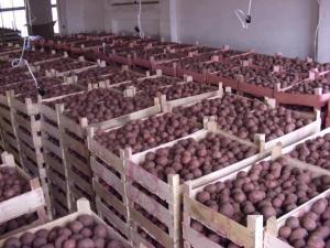 Картофельные клубни семенные Сумы, Украина