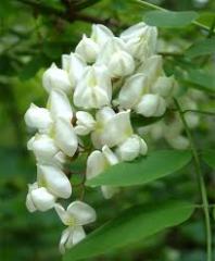 Acacia, fragrance
