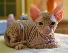 Kitten of the Don sphinx