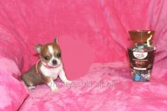 Puppy Chivava the girl the VIP super pass