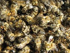 Подмор пчел, Пчелиный подмор