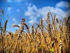 Wheaten waste