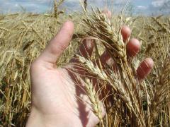 Производство зерновых и технических культур