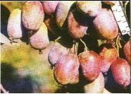 АКТИНИДИЯ Пурпурная артикул БР1-01-104